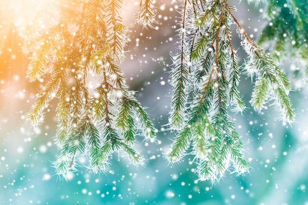 Close-up of pine tree covered with snow frost in winter Premium Photo