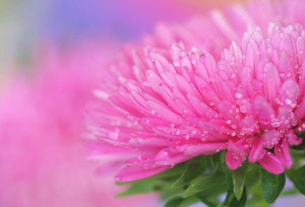Close-up of  pink aster Premium Photo