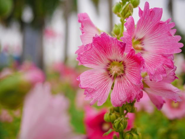 Close up pink flowers in the garden on blurred background