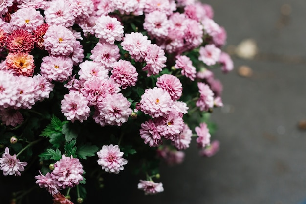 Close-up of pink fresh beautiful aster flowers Free Photo