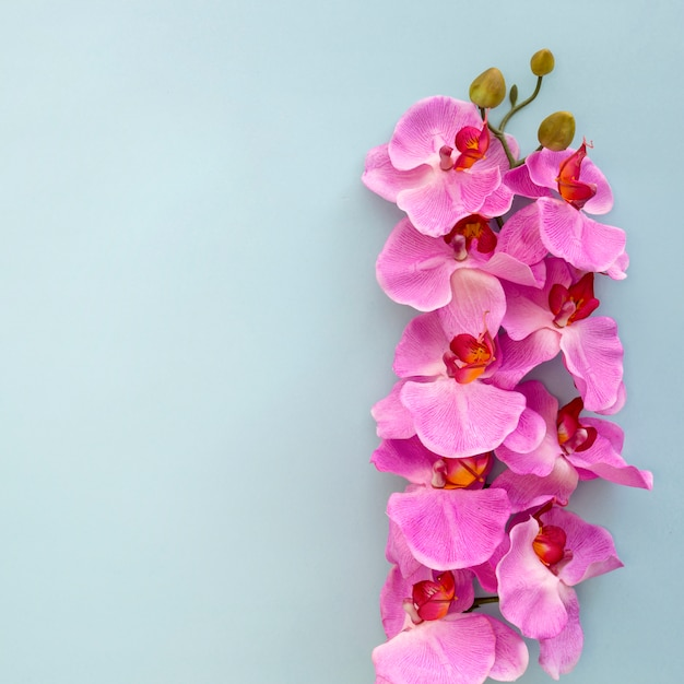 Close-up of pink orchid flowers on blue backdrop Free Photo