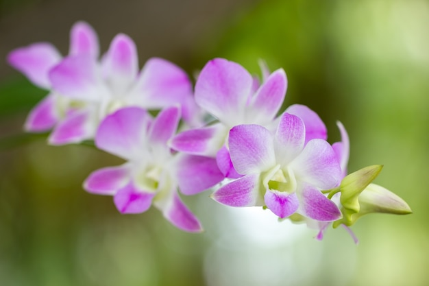 Close up pink orchid named aerides multiflora roxb Premium Photo