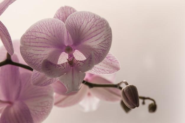 Close-up di orchidee rosa su sfondo astratto luce. orchidea rosa in vaso su sfondo bianco. immagine di amore e bellezza. sfondo naturale e elemento di design. Foto Gratuite