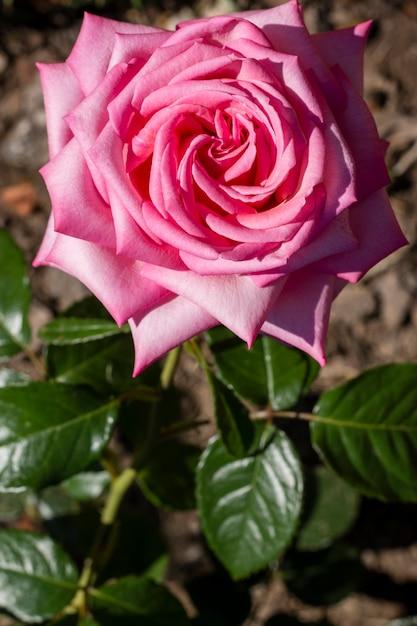 Close-up pink rose petal concept Free Photo