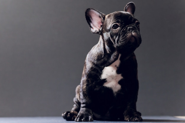 Close-up portrait of funny smiled french bulldog dog and curiously looking, front view, isolated on black background. Premium Photo