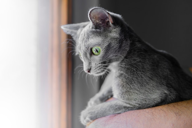 Close up portrait of gray colored cat with deep big green eyes. korat cat resting. animals and adorable cats concept. macro selective focus. pet shelter Premium Photo