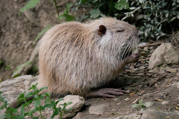 Крупным планом портрет нутрии, едящей водяную крысу Premium Фотографии