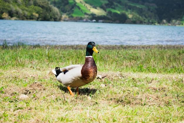 Close up portrait of a pair of mallard ducks (anas platyrhynchos) Premium Photo