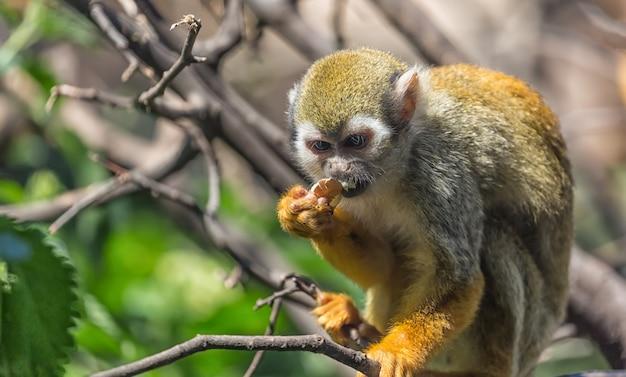 Close up portrait of squirrel monkey saimiri sciureus sitting and eating on a tree branch Premium Photo