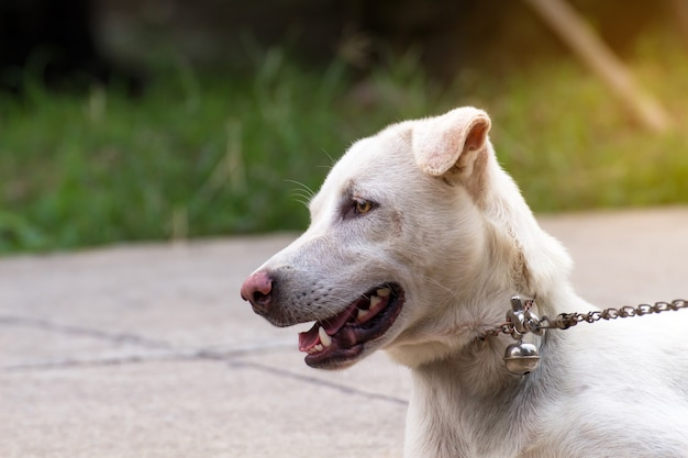 Close up portrait of a stray dog on side walk,vagrant dog Premium Photo
