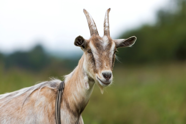 Close-up profile portrait of nice white hairy bearded goats with long horns Premium Photo