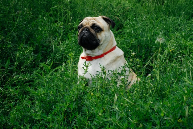 Close-up of pug on the green grass in the garden. Premium Photo