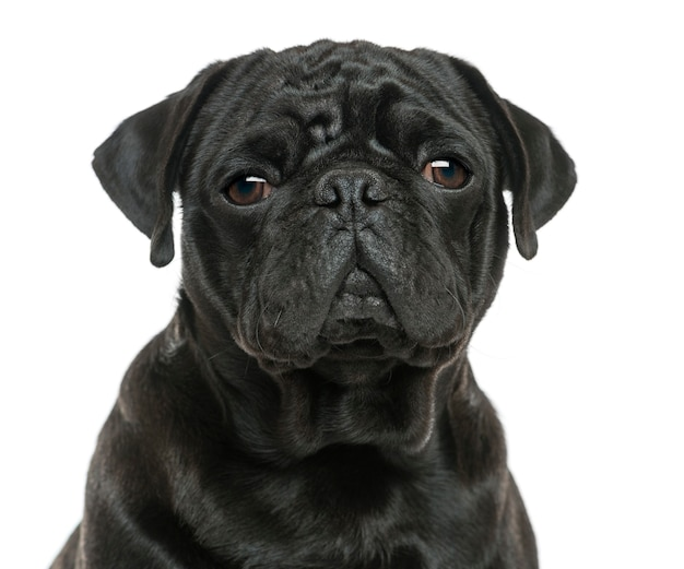 Close-up of a pug isolated on white Premium Photo