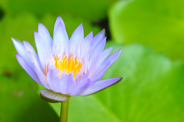 Close-up purple lotus have yellow pollen in pond on green lotus leaves background Premium Photo