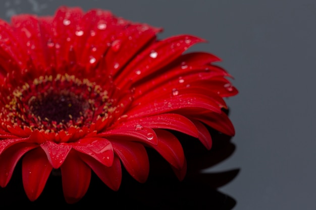 Close-up red gerbera flower with raindrops Free Photo