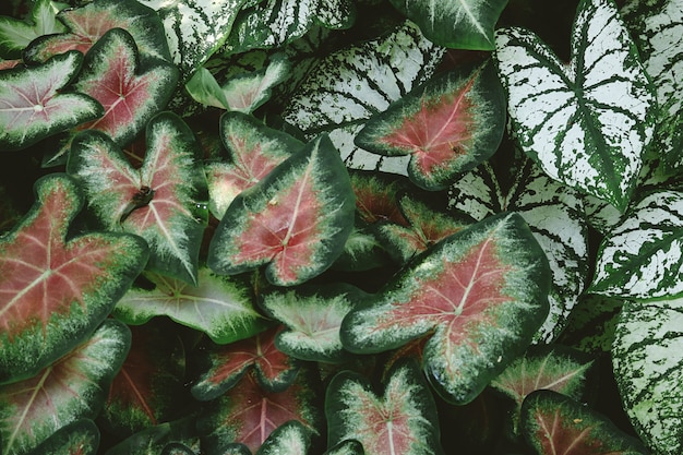 Close-up of red and green caladium plants Free Photo