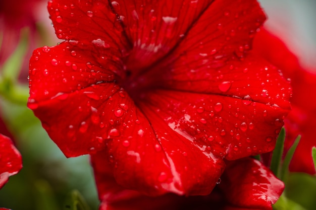 Close up of red petunia flower with dewdrops on the petals Free Photo