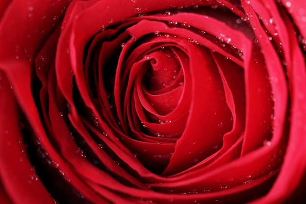 Close up of red rose blossom Free Photo
