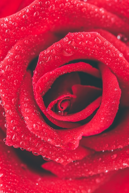 Close up red rose Free Photo