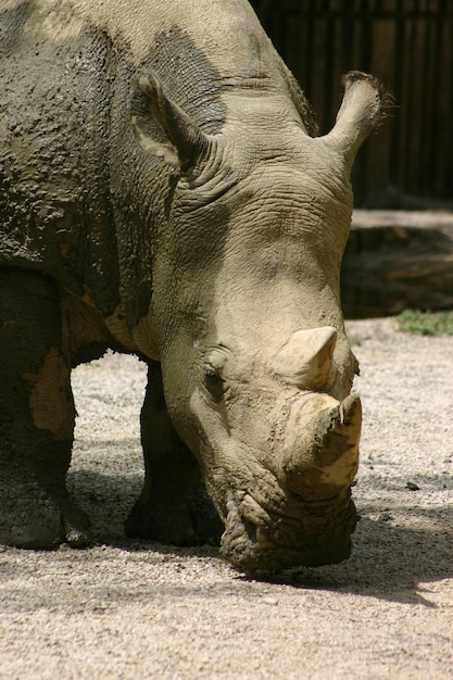 Primo piano di rinoceronte Foto Gratuite