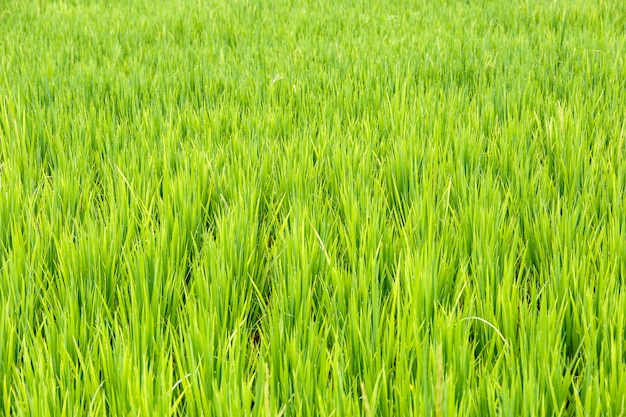 Close up of rice paddy ,thai rice Premium Photo