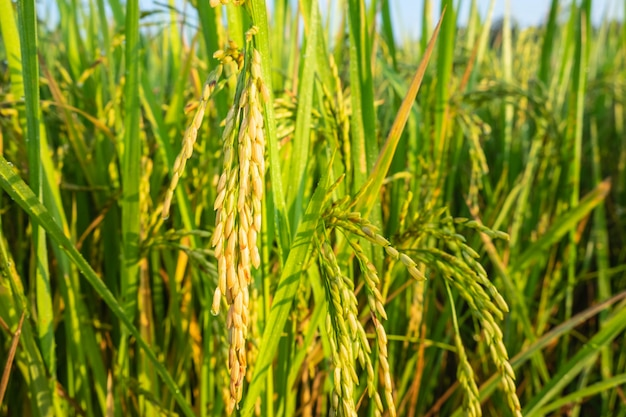 Close up rice plants yield   ripening growing waiting for harvest Premium Photo