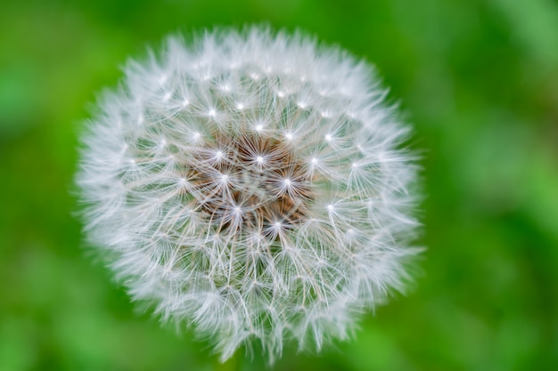 Close-up of ripe dandelion seeds ready to fly. Premium Photo