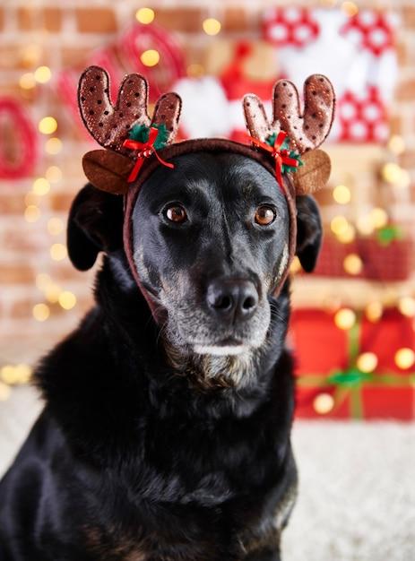 Chiuda in su del cane triste con corna di renna Foto Gratuite