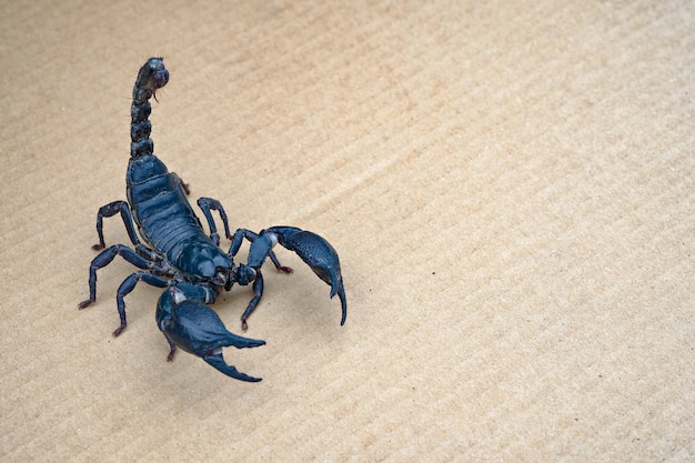 Close up scorpion on isolated background with copy space Premium Photo