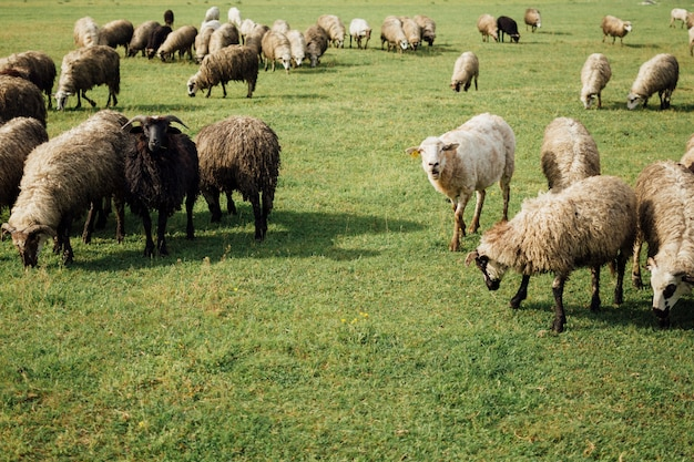 Close-up sheep eating grass on pasture Free Photo