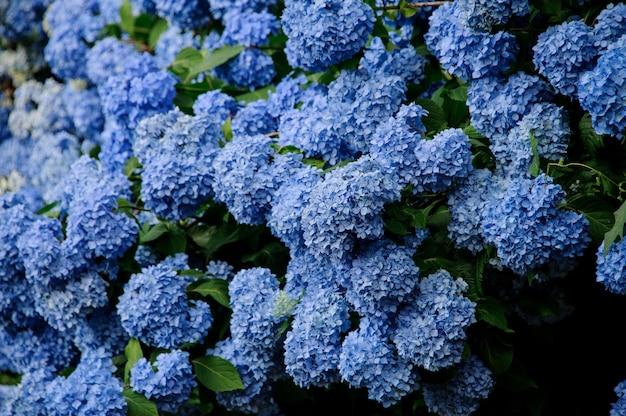 Close up shot of the beautiful huge bush of the blue hydrangea Premium Photo