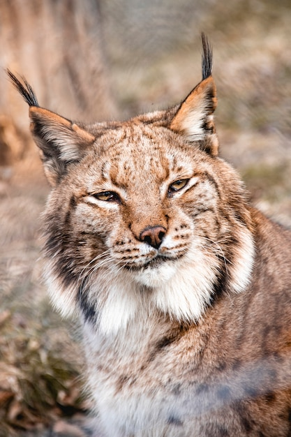 Eurasian Lynx Facts, Pictures, Video & In-Depth Information