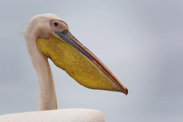 灰色の背景を持つ美しい白いヘラサギの鳥のクローズアップショット 無料写真
