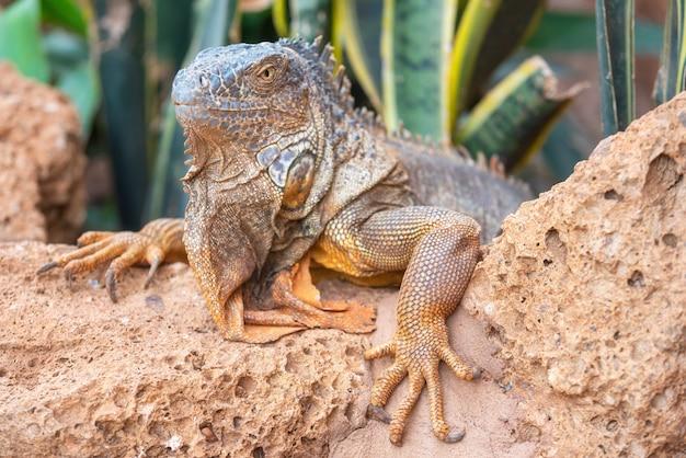 Close up shot of an orange iguana in desertic landscape. Premium Photo
