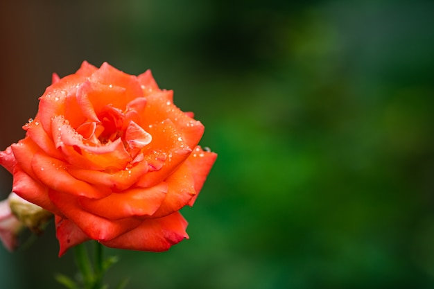 Close-up stock photo of a beautiful blooming red rose growing in the garden Premium Photo