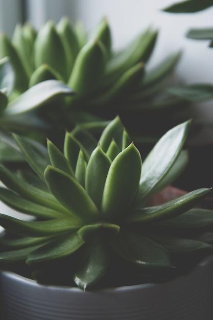 Close up succulent plant, dark photo, toned echeveria succulent rosette. Premium Photo