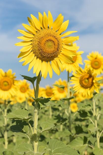 フィールドの太陽の花を閉じる Premium写真