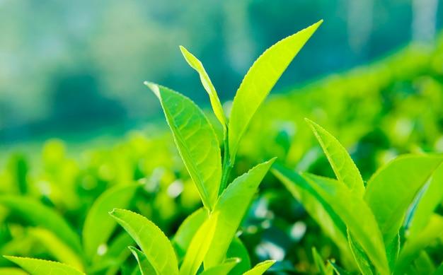Close up of tea leaves in a farm in sri lanka Free Photo
