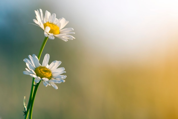 Close-up of two tender beautiful simple white daises with bright yellow hearts lit by morning sun blooming on high stems Premium Photo