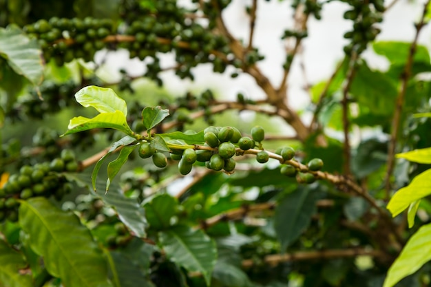 Close-up of unripe coffee cherries growing on tree Free Photo