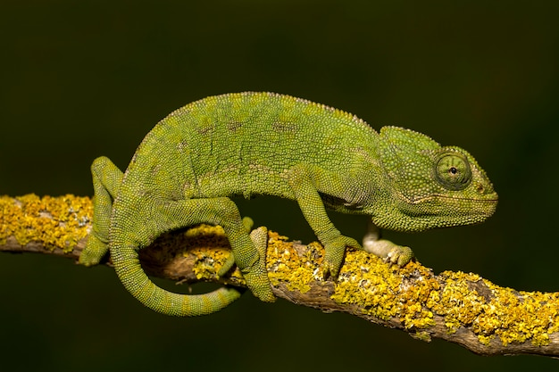 Close up view of a cute green chameleon on the wild. Premium Photo
