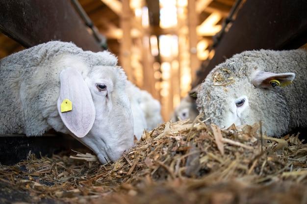 畜産農場の自動コンベヤーベルトフィーダーからの食物を食べる羊牛の拡大図 無料写真