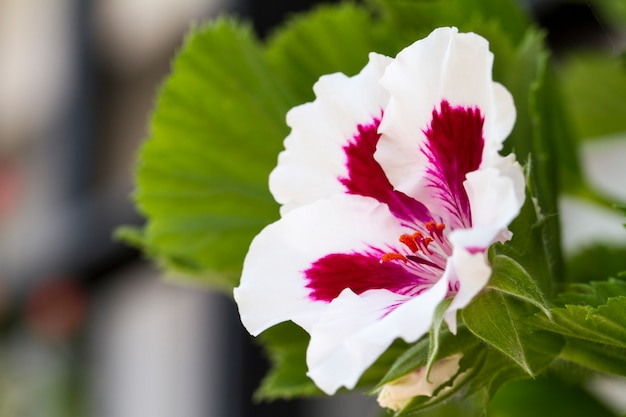 美しいsinningia speciosaの花のクローズアップ表示。 Premium写真