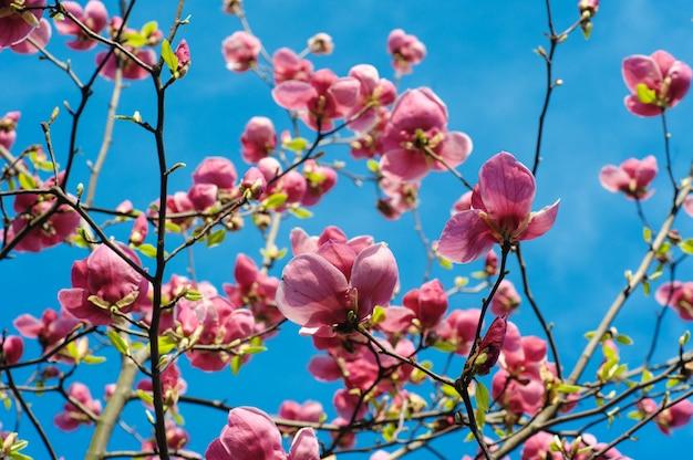 Close-up view of purple blooming magnolia in spring botanical garden Premium Photo