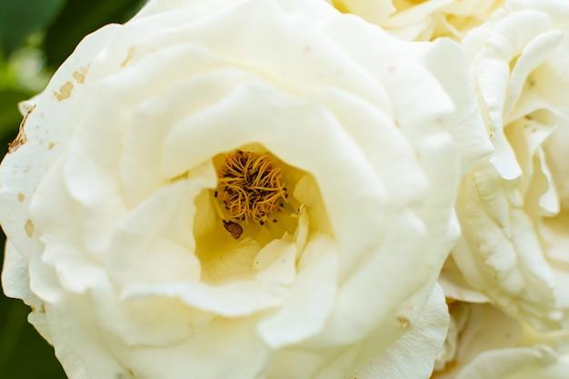 Vista ravvicinata di fiori di rosa con fioritura bianca nel giardino Foto Gratuite