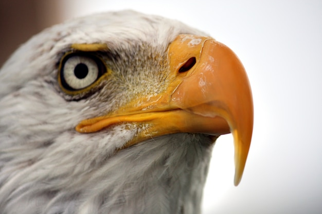 Close up view of the white head of an american bald eagle. Premium Photo