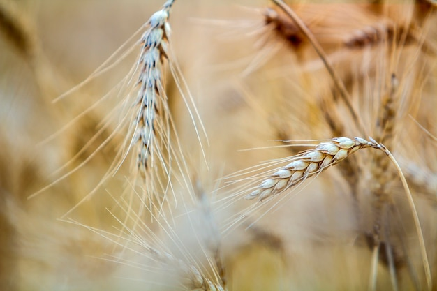 Blurred Wheat Vectors Photos And Psd Files Free Download