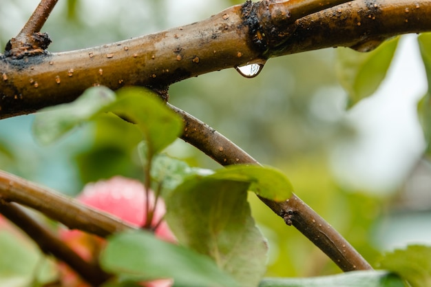 Close-up of water drop of apple tree branch in soft-focus in the background. Premium Photo