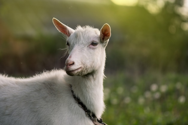 Close-up of a white goat. close up goat in farm on green grass Premium Photo