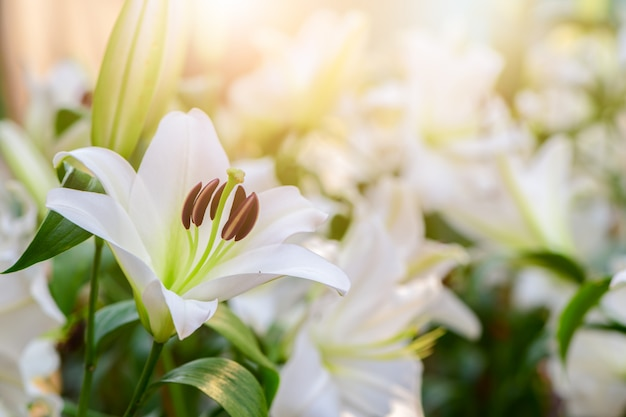 Close up white lilly blooming in the garden. Premium Photo